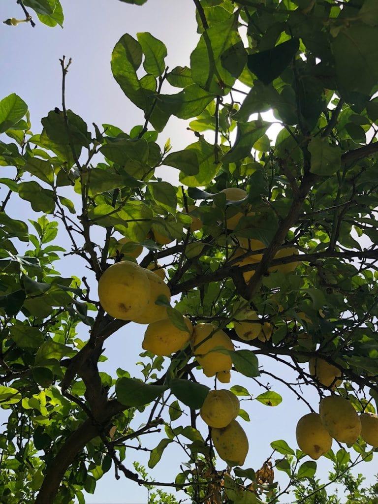 Lemon tree at Villa Irlanda, Gaeta